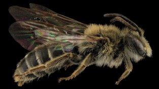 Včela, klíčový opylovač hmyzosnubných rostlin