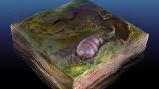 Kresba tvora podobného červovi, pojmenovaném ikaria wariootia