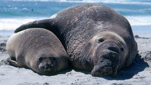 Znáte snad lepší manželskou dovolenou než na pláži? Samec a samice rypouše sloního
