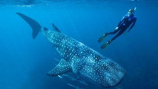 Žralok obrovský s autorem studie Markem Meekanem