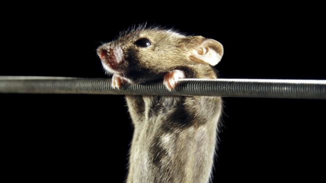 profimedia-0102251149 mice