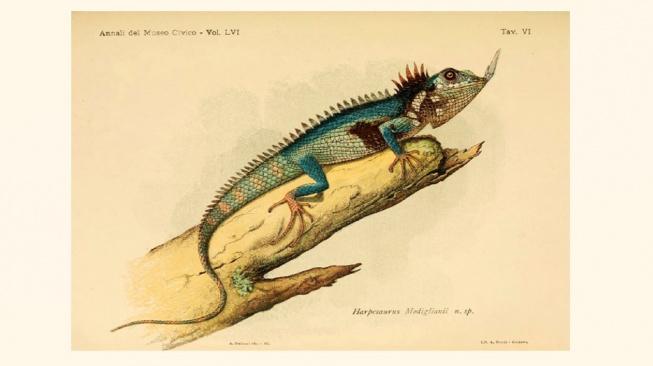 lizard c