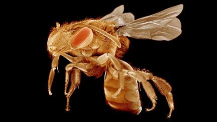 Až včely vymřou... Nahradíme je robotickými opylovači?