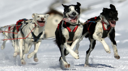 Lidé se psy sáňkují už 10 tisíc let. Začalo to na Sibiři...