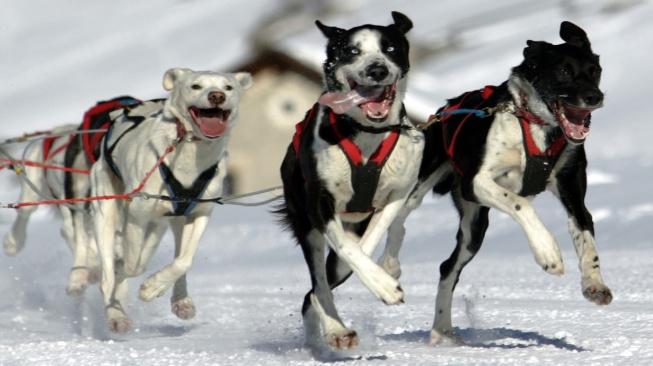 Aljašští huskyové, jedno z nejvýkonnějších plemen saňových psů.