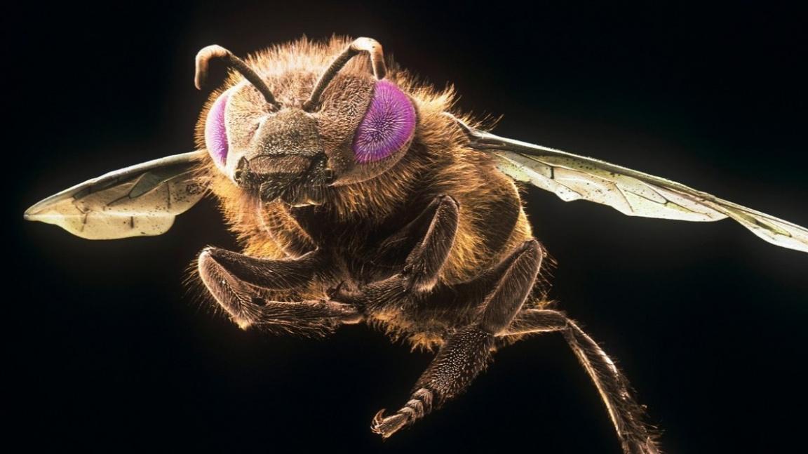 Jed ze včelího žihadla zabil v laboratoři rakovinné buňky