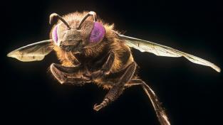 Včela, jak jste ji nejspíš ještě neviděli – zblízka na skenu z elektronového mikroskopu.