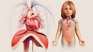 Ilustrace srdce dítěte s bránicí. Multisystémový zánětlivý syndrom může u dětí vyvolat výduť srdeční aorty.