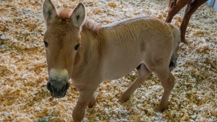 Aktualizováno: Vítej, Kurte! Naklonován první kůň Převalského