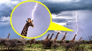 Žirafa se může stát magnetem na blesk. Žirafě na tomto snímku, který pořídila ruská fotografka Julie Sunduková v Namibii, se však nic nestalo. Blesk udeřil až několik stovek metrů za její hlavou.