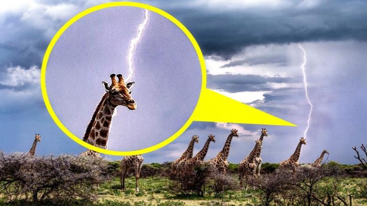 Žirafa může fungovat jako magnet na blesky