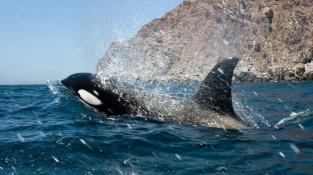 Kosatky jsou predátoři stojící na vrcholu potravního řetězce v oceánech a mořích.
