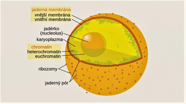schema buněčného jádra 2