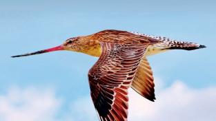 Břehouš rudý, rekordman ve vytrvalostním letu.