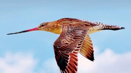 Pták břehouš vytvořil světový rekord: 12 tisíc kilometrů bez mezipřistání!
