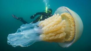 Obří medúza, na kterou potápěč narazil u břehů Británie.