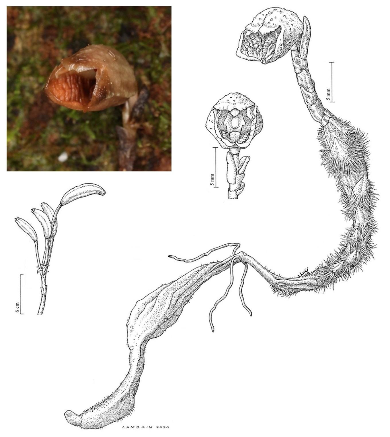 Gastrodia_agnicellus-novataxa_2020-Hermans_et_Cribb__sciArt_@DeborahLambkin (1)