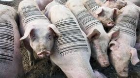 profimedia-0129114682 pigs