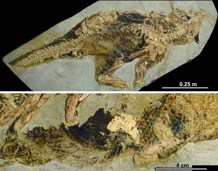 Scientists-characterize-a-dinosaur-cloaca-or-vent-for-the-first-time