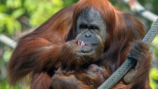 Samice orangutana Odah se svým mládětem v Zoologické zahradě San Diego.