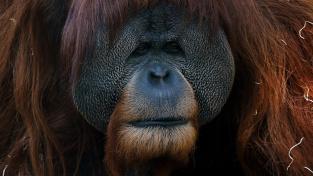 Jeden z orangutanů v Zoo San Diego, který dostal obě dávky vakcíny.