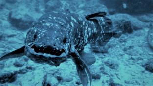 Latimérie podivná – ryba, která byla pokládána za vyhynulou.