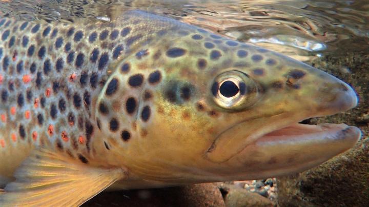 Ryby mohou být závislé na pervitinu, upozorňuje český výzkum