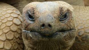 Želva obrovská (Aldabrachelys gigantea), býložravec, který dokáže zabít a sežrat ptáka.
