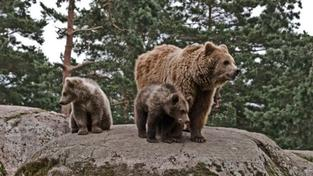 Na Sibiři staví hlídky proti hladovým medvědům