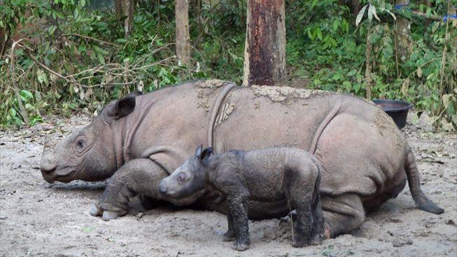 Organizace Traffic varuje, že bude letos zabito až 515 nosorožců
