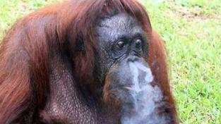 Orangutan hulí jak fabrika! ZOO ho poslala na odvykací kúru