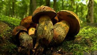 Na houby do Olomouckého kraje: Ve velkém porostou za 3 dny, tvrdí mykolog