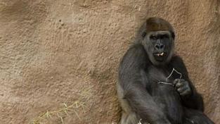 Pražská ZOO čeká další přírůstek u goril. Mámou bude Bikira