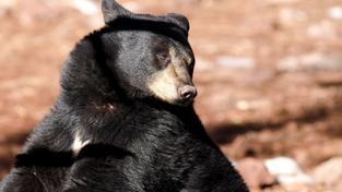 Američtí ochránci přírody se rozhodli odchytit prvního medvěda baribala