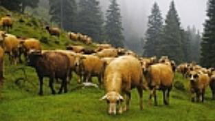 Zvoní ovcím v Rumunsku hrana?