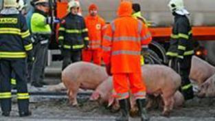Po nehodě na D1 pobíhala po dálnici prasata