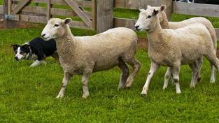 Hrůzné neštěstí. Stovky ovcí zahynuly pádem z dálničního nadjezdu