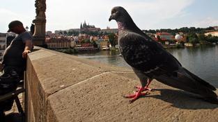 Rakousko bojuje proti přemnožení holubů. Zavádí holubí antikoncepci