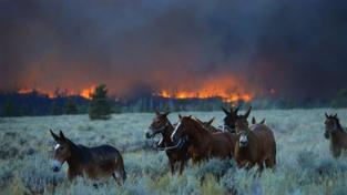 Hasiči zachraňovali před požárem koně, prasata i krávy