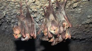 Za nachlazení a spalničky mohou netopýři!
