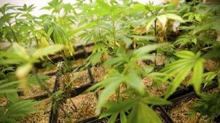 V Nizozemí se nebude smět prodávat marihuana cizincům