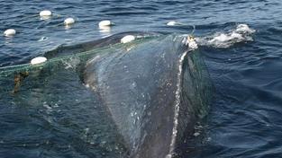 Velrybí maso často končí v restauracích