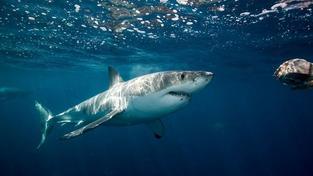 Žraloci v Pacifiku brzy minulostí?