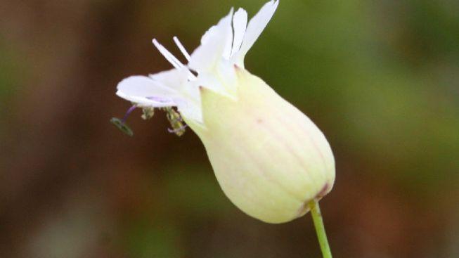 Bobt - gen, který kastruje rostliny