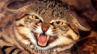 Vědci odchovali africkou divokou kočku ze zkumavky