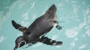 Japonsko hledá tučňáka číslo 337, uprchl ze zoo