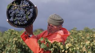 Francouzští vinaři pláčou. Letos je čeká nejhorší úroda za posledních 20 let