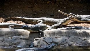 Nepálská krokodýlí farma zachraňuje ohrožené druhy