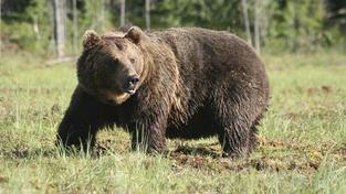Bratislava v panice: V lesích u hlavního města straší 250-kilový medvěd!