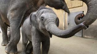V Malajsii byla zabavena dvoutunová zásilka slonoviny z Keni
